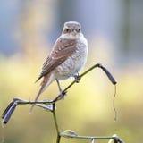 Bird on lily. Shrike posing on lily branch Stock Image