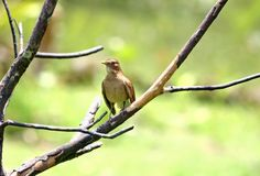 Bird on a limb. Bird of Costa Rica sitting on a tree limb Stock Photos