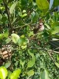 Bird on the lime tree. Immature Bulbul bird on the lime tree royalty free stock photo