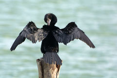 Bird. Little cormorant Stock Photo