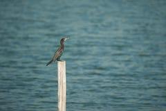 Bird Little Cormorant sun bath on Stump Stock Photos