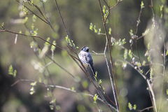 Bird. Little gray birdie hide in bush sing song greeting spring morning Stock Photos