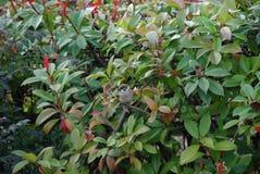 A bird. A little bird siting on a branch of a bush in garden Royalty Free Stock Photos
