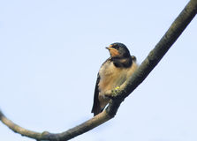 Bird little  swallow sitting on a branch on blue sky background Stock Photo