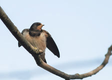 Bird little  swallow sitting on a branch on blue sky background Stock Image