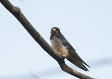 Bird little  swallow sitting on a branch on blue sky background Stock Images