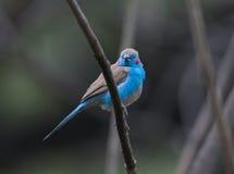 Bird living in Ethiopia Stock Images