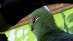 Bird, Livingston Turaco stock video