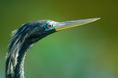 Bird with long beak or bill Royalty Free Stock Photography