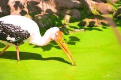BIRD WITH LONG BEAK IN GREEN WATER. BIRD WITH LONG BEAK LOOKING FOR A PREY IN GREEN WATER stock photography