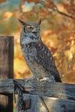 Bird-Long eared owl Stock Photos
