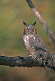 Bird-Long eared owl. Long eared owl in tree Royalty Free Stock Images