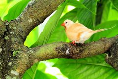 Bird, Long-tailed Finch Stock Images