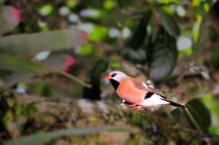 Bird, Long-tailed finch Royalty Free Stock Images