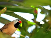 Bird, Long-tailed finch perched on branch in aviary Stock Photography
