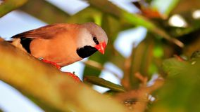 Bird, Long-tailed finch perched on tree branch Stock Photo