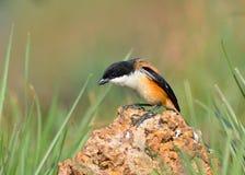 Bird (Long-tailed Shrike) , Thailand Stock Photos