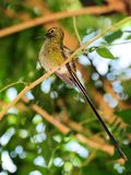 Bird, Long-tailed Sylph Hummingbird Royalty Free Stock Photo
