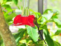 Bird, Long-tailed Sylph Hummingbird Stock Images