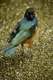 Bird looking. A beautiful colorful bird looking at you Stock Photography