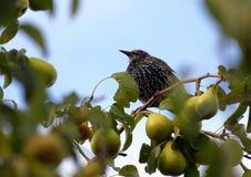 Bird2. Bird looking around on pear tree Royalty Free Stock Photography