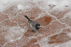 The bird is looking for food in the snow royalty free stock photography