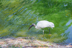 A bird is looking for food. The wood stork (Mycteria americana) is a large American wading bird in the stork family Ciconiidae. It was formerly called the wood Stock Photography