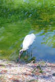A bird is looking for food. The wood stork (Mycteria americana) is a large American wading bird in the stork family Ciconiidae. It was formerly called the wood Stock Photos