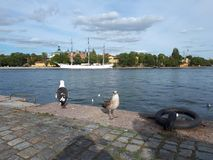 Bird looking straight into the camera Stockholm city view summer 2018. Bird looking straight into the camera Stockholm city view summer royalty free stock photography