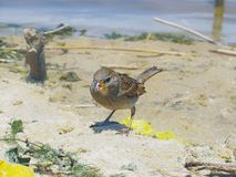 The bird looks at pile of trash at sandy shore. One live bird the sparrow looks attentively at a pile of trash on a cluttered sandy shore near the water Royalty Free Stock Photo