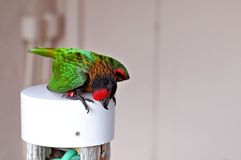 Bird, lorikeet in aviary in South Florida Stock Photography