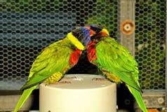 Bird, lorikeet couple in aviary Royalty Free Stock Image