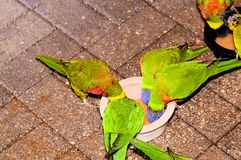 Bird, lorikeets eating in aviary. Beautiful Lorikeets standing inside an aviary in Butterfly World, South Florida Stock Photo