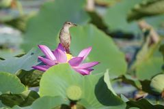 Bird and lotus Stock Images