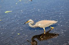 Bird, Louisiana Heron Royalty Free Stock Photos