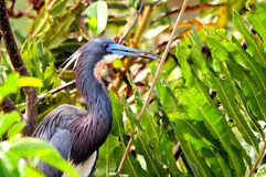 Bird, Louisiana heron Royalty Free Stock Image