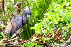 Bird, Louisiana heron in breeding plumage Stock Image