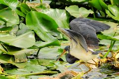 Bird, Louisiana Heron Fishing Stock Images