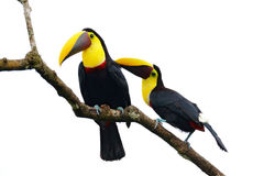 Bird love. Chesnut-mandibled Toucan sitting on the branch in tropical rain, white background. Wildlife scene from nature with beau. Bird love. Chesnut-mandibled Royalty Free Stock Images