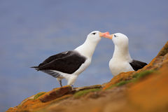 Bird love. Pair of birds Black-browed albratros. Beautiful sea bird sitting on cliff. Albatross with dark blue water in the backgr royalty free stock images