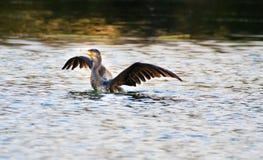 Cormorant Stock Photo