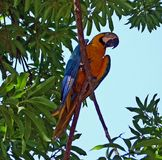 Bird-Macow in Tree-Costa Rica Royalty Free Stock Images