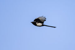 Bird, magpie in flight Stock Photo