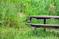Bird Magpie Stock Image