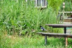 Bird Magpie Stock Images