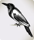Bird magpie, hand-drawing. Vector illustration. Royalty Free Stock Photo