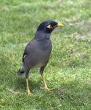 Bird Maine. Royalty Free Stock Photos