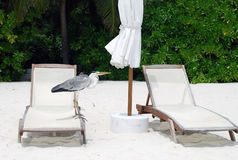 Bird on Maldives beach. Bird on sunbed on the Maldives beach Royalty Free Stock Images