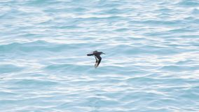 A bird in the Maldives is moving very fast and close to the water for fish Royalty Free Stock Images