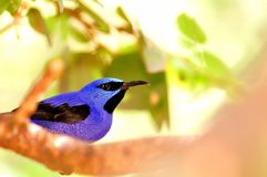 Bird, Male honeycreeper Royalty Free Stock Image